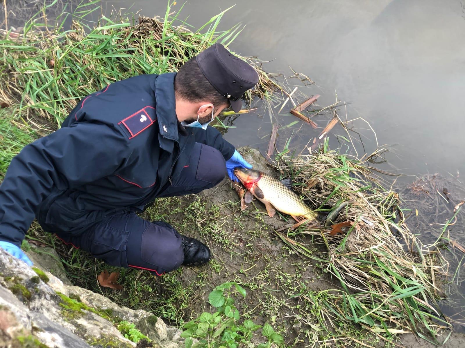 Moria di pesci nel fosso Dogaia