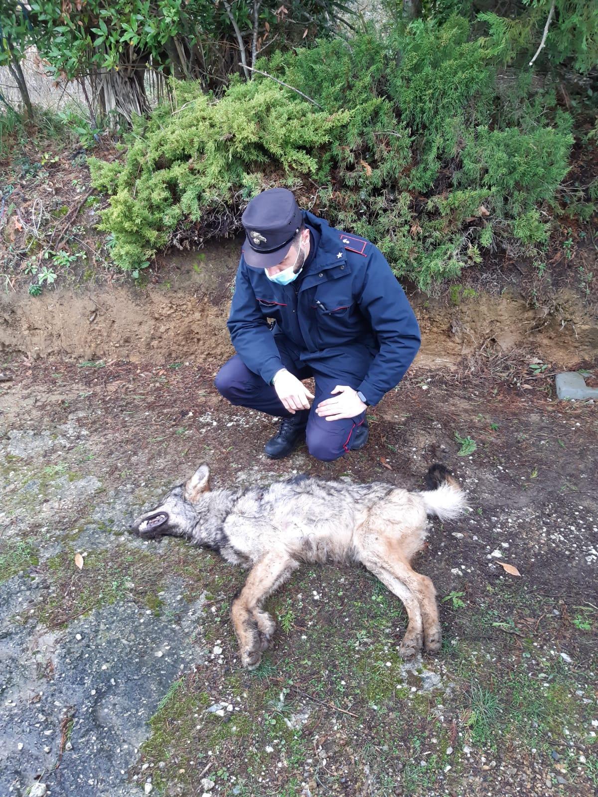 Rinvenuto lupo morto, in corso accertamenti