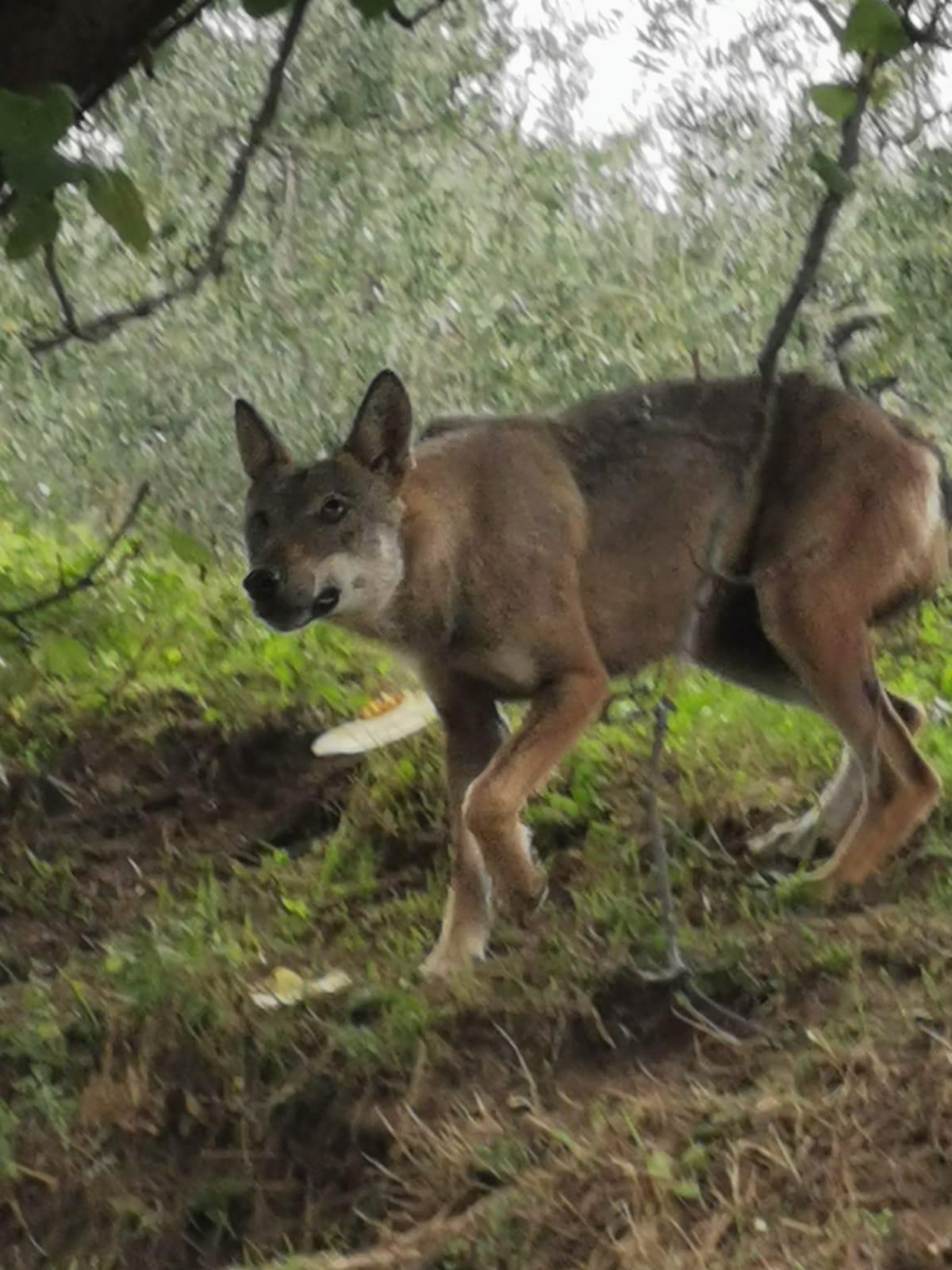 Cronaca, Villa di Piteccio (Pt): lupo vicino alle case